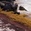 Praia cheia de sargaços. Zona Arqueológica de Tulum, México