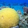 Coral cérebro no Arrecife Paraíso - Cozumel, México