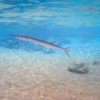 Peixe-agulha, no Arrecife Paraíso - Cozumel, México