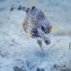 Peixe guaiamacu-ape. - Cozumel, México