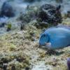 Peixe-barbeiro, no Arrecife Paraíso - Cozumel, México