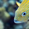 Peixe Cocoroca boca-de-fogo, no Arrecife Paraíso  - Cozumel, México
