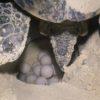 Tartaruga marinha botando ovos - Cozumel, México
