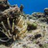 Anêmona no Arrecife Paraíso - Cozumel, México