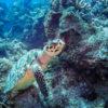 Mais uma tartaruga que encontramos durante um mergulho no Palancar Jardines - Cozumel, México