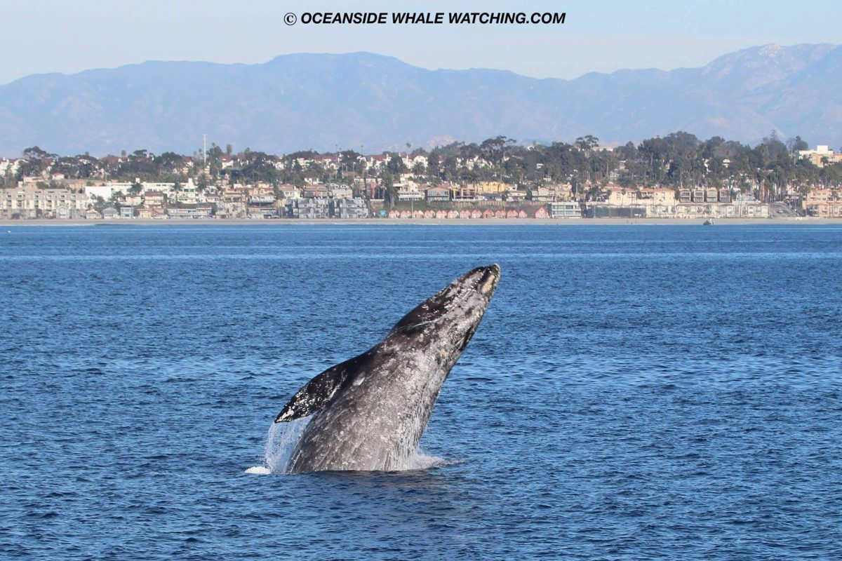 Gray Whale Oceanside Adventures