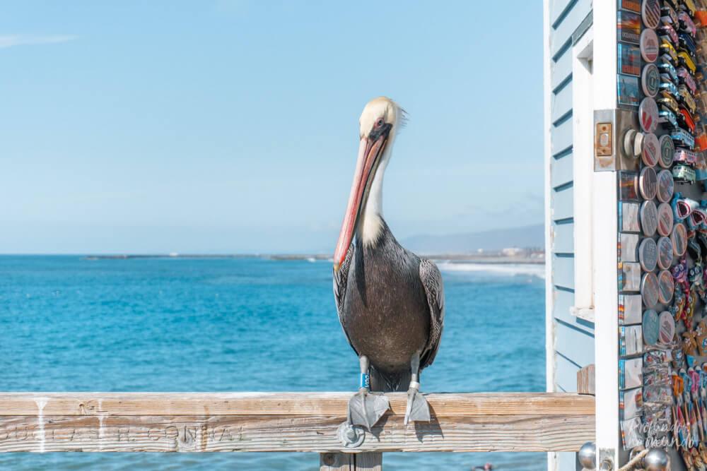Pelicano no Píer de Oceanside